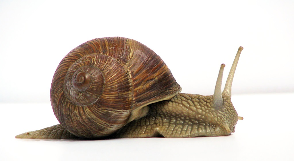 Image of a snail crawling along